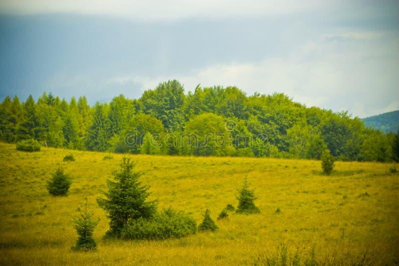 Floresta do abeto fotografia de stock royalty free