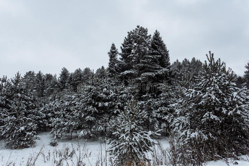 Floresta do abeto do inverno contra o céu branco fotografia de stock royalty free