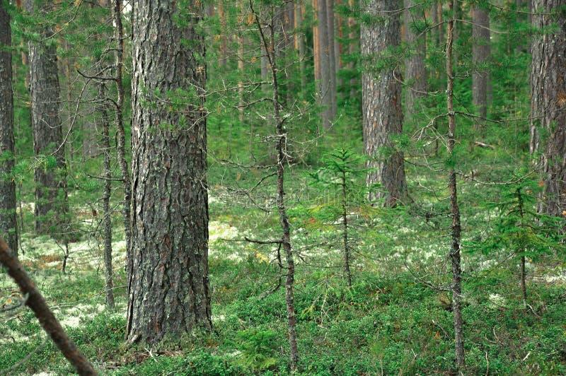 Floresta do abeto vermelho e do pinheiro, grama e dossel de Moss Covered Forest imagens de stock