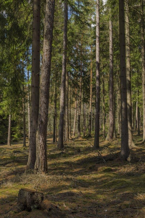 Floresta do abeto vermelho e do pinheiro no dia de mola no parque nacional de Slavkovsky Les fotos de stock