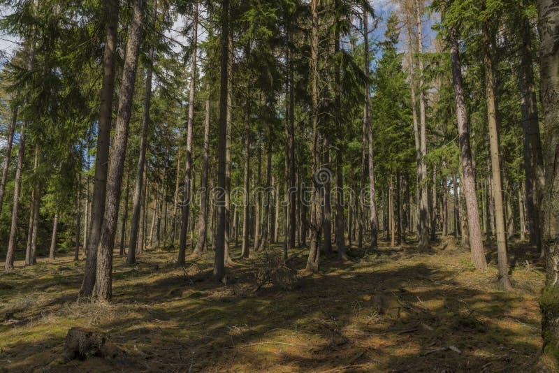 Floresta do abeto vermelho e do pinheiro no dia de mola no parque nacional de Slavkovsky Les foto de stock