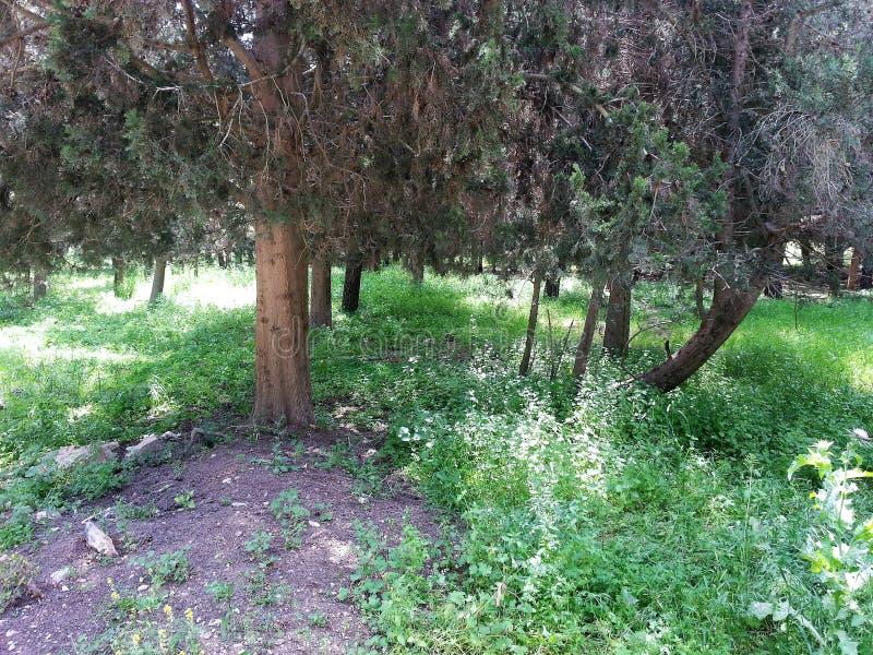 Floresta do ayin do ` de Rosh Ha imagem de stock