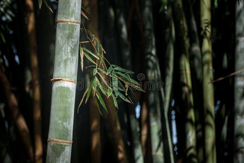 Floresta do bambu gigante no jardim botânico de Kandy, Sri Lanka imagens de stock