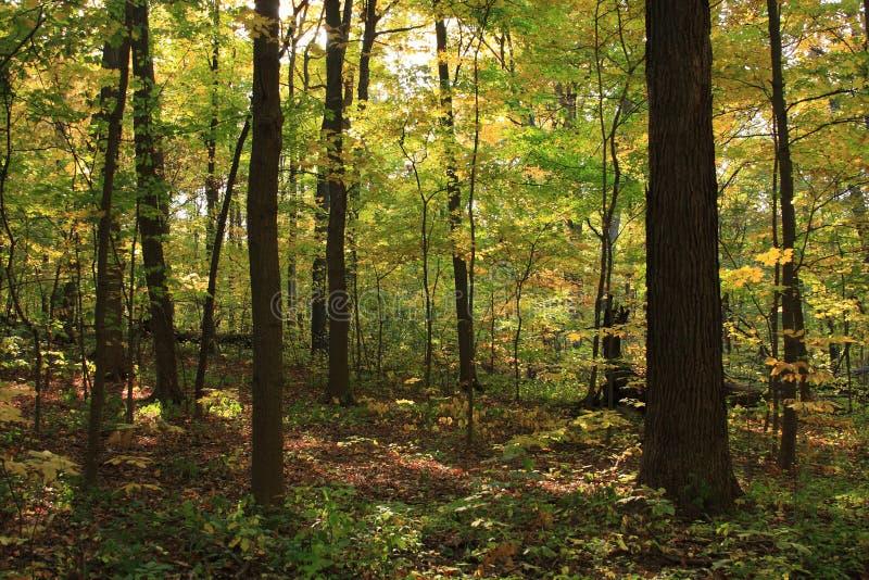 Floresta do bordo fotografia de stock