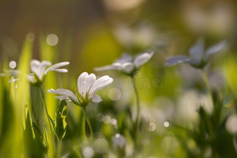 Floresta do Cerastium no orvalho da manhã fotos de stock