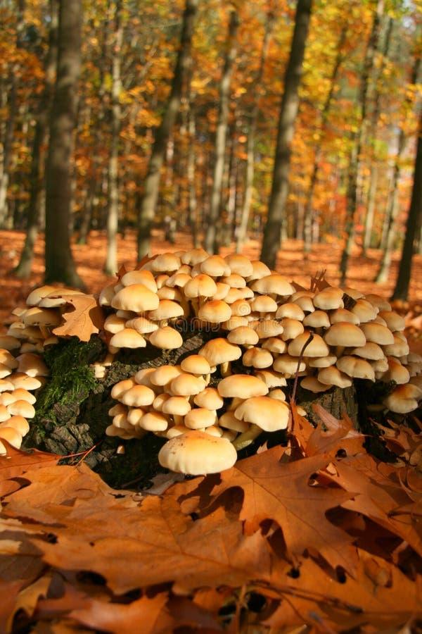 Floresta do cogumelo do outono imagens de stock royalty free