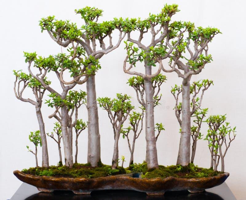 Floresta do Crassula como bonsais fotos de stock royalty free