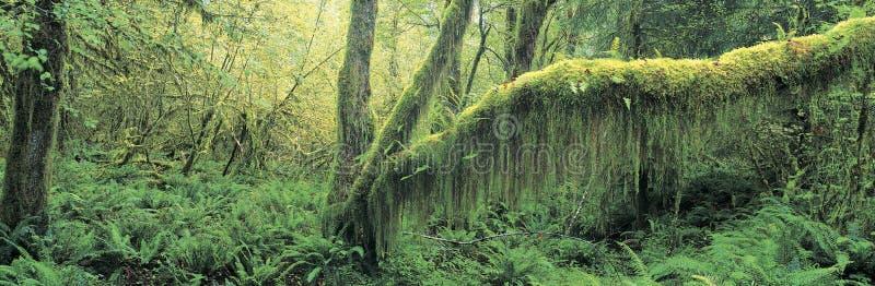 Floresta do crescimento velho imagem de stock royalty free