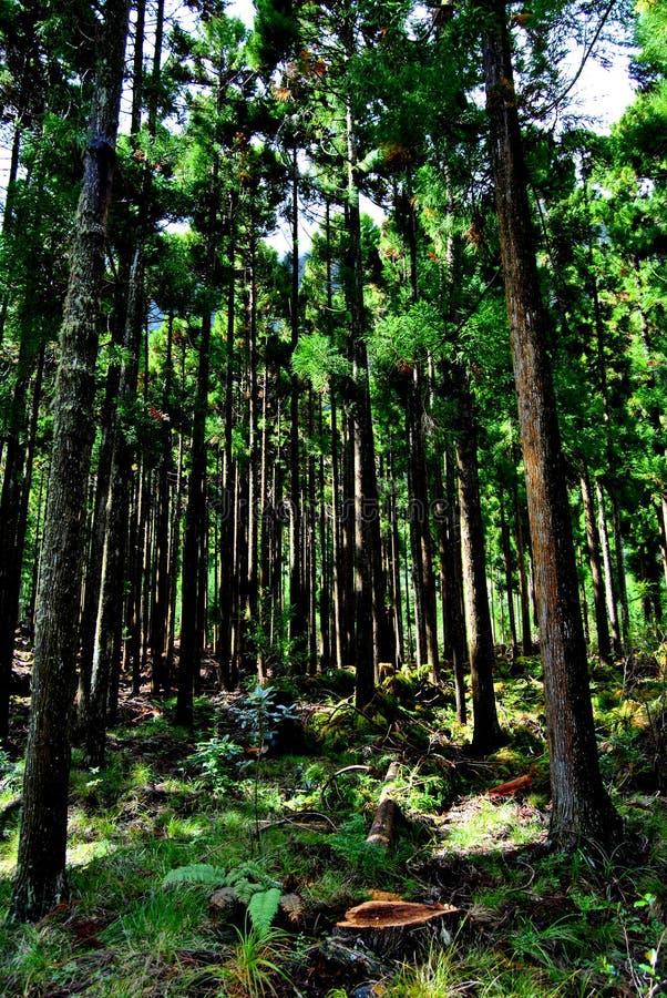 Floresta do Cryptomeria em Reunion Island Árvores japonesas fotos de stock