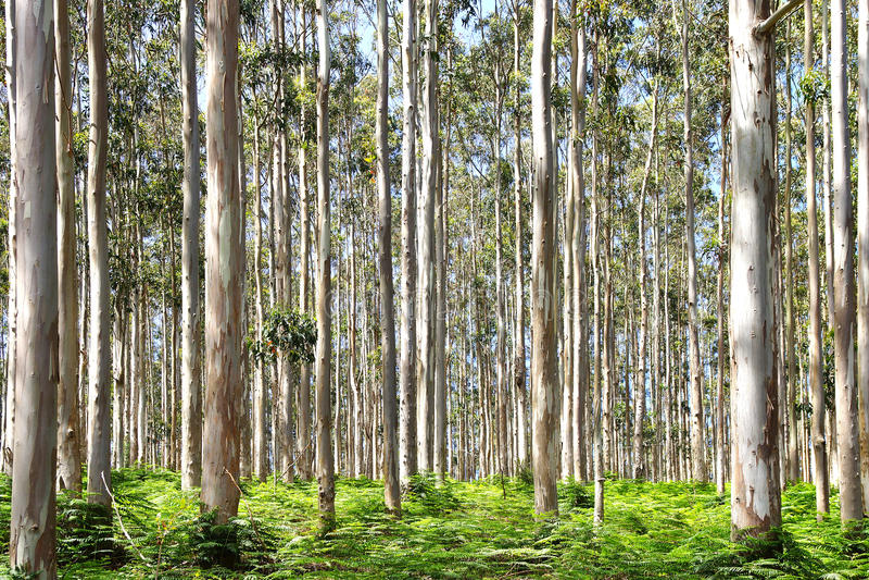 Floresta do eucalipto no valor máximo de concentração no trabalho do Koh fotografia de stock