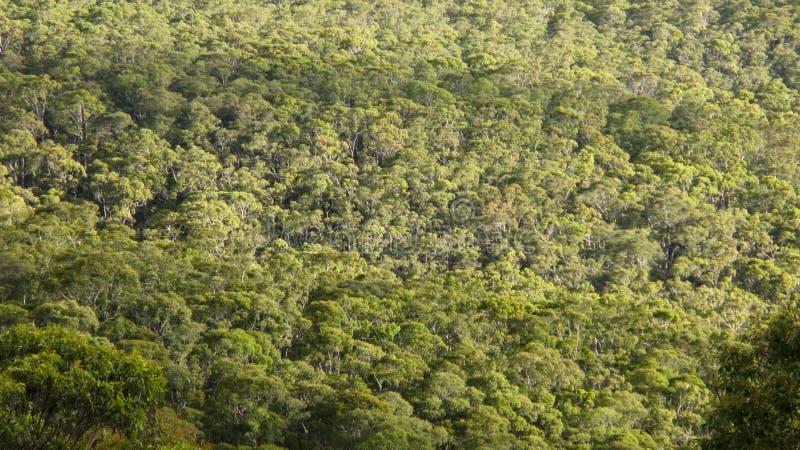 Floresta do eucalipto vista de acima fotografia de stock