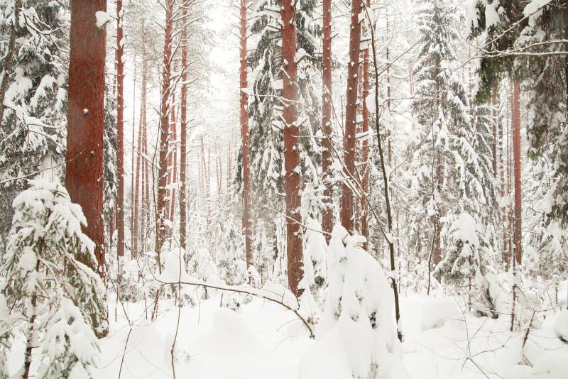 Floresta do inverno. fotos de stock
