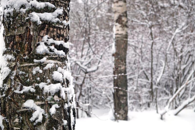 A floresta do inverno cobriu bloqueado pela neve com o tronco de árvore do vidoeiro na opinião dianteira do close up imagem de stock