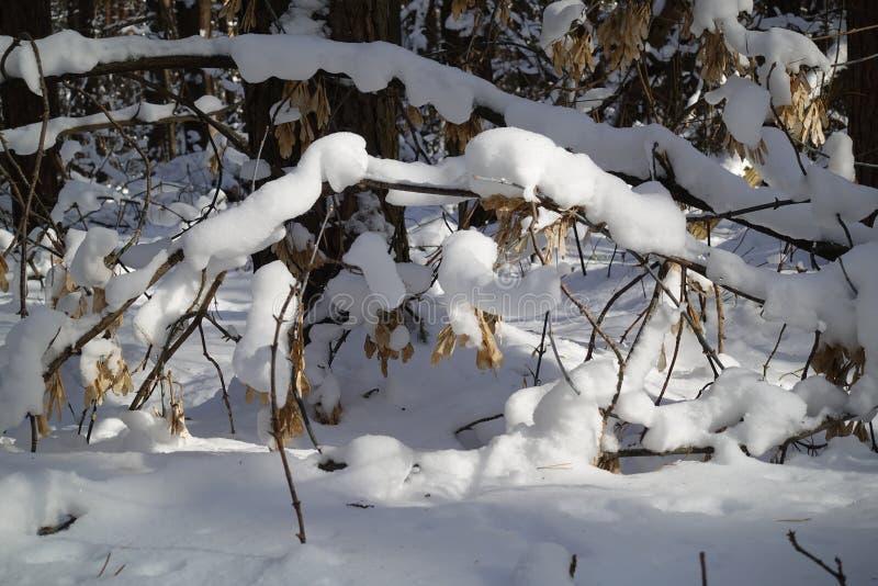A floresta do inverno com árvores cobriu a neve imagem de stock