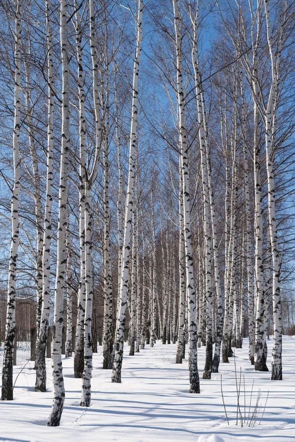 Floresta do inverno do dia dos vidoeiros fotografia de stock