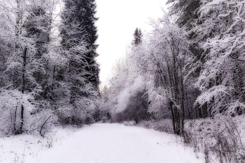 Floresta do inverno do milagre coberta pela neve imagem de stock