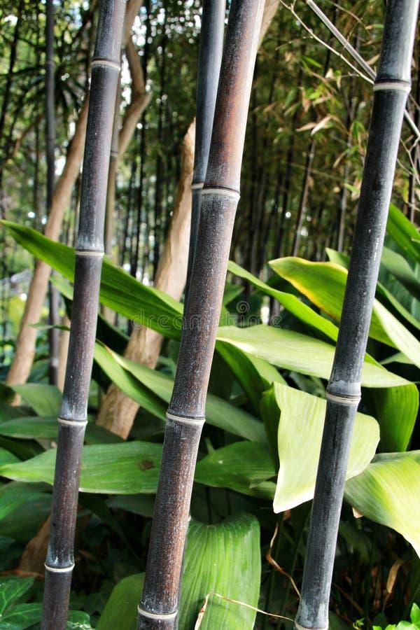 Floresta do negro do Phyllostachys no jardim fotografia de stock
