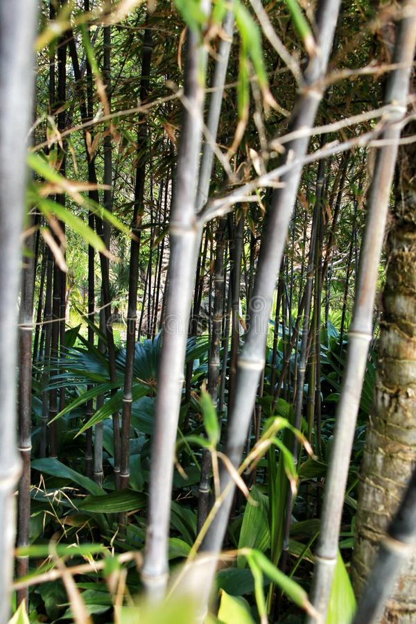 Floresta do negro do Phyllostachys no jardim fotografia de stock royalty free