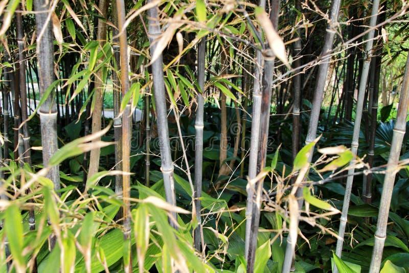 Floresta do negro do Phyllostachys no jardim fotografia de stock royalty free