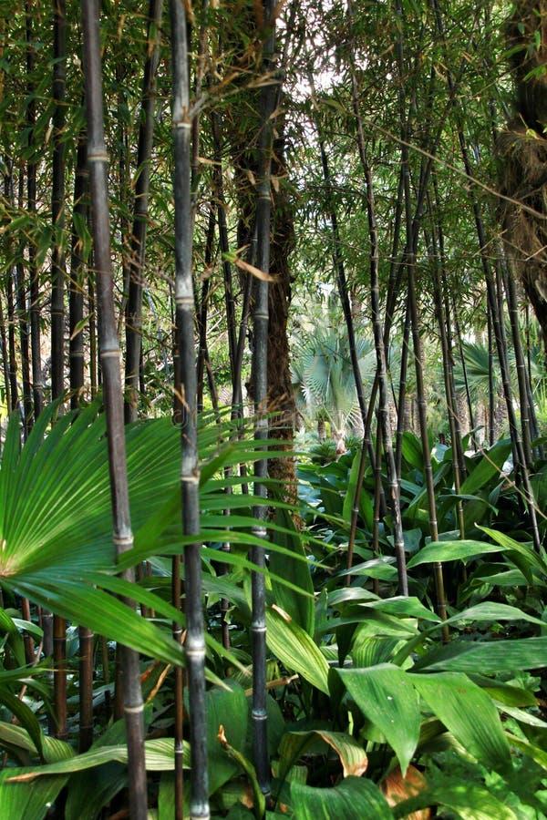 Floresta do negro do Phyllostachys no jardim fotos de stock