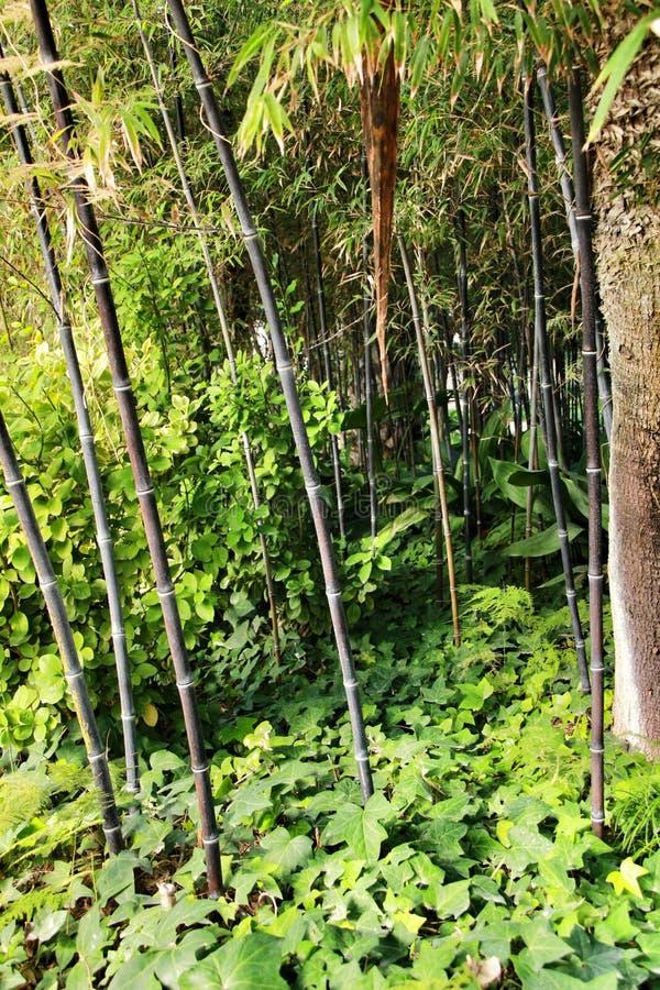 Floresta do negro do Phyllostachys no jardim imagens de stock royalty free