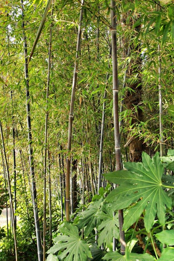Floresta do negro do Phyllostachys no jardim imagem de stock royalty free