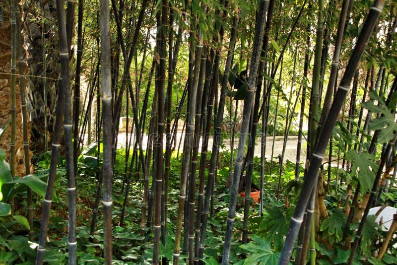 Floresta do negro do Phyllostachys no jardim imagem de stock