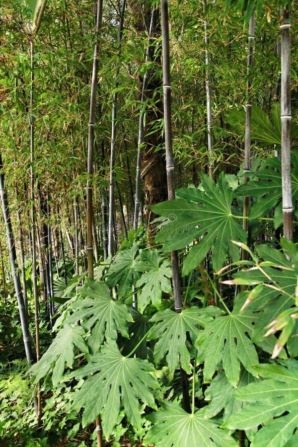 Floresta do negro do Phyllostachys no jardim e na planta da arália imagem de stock royalty free