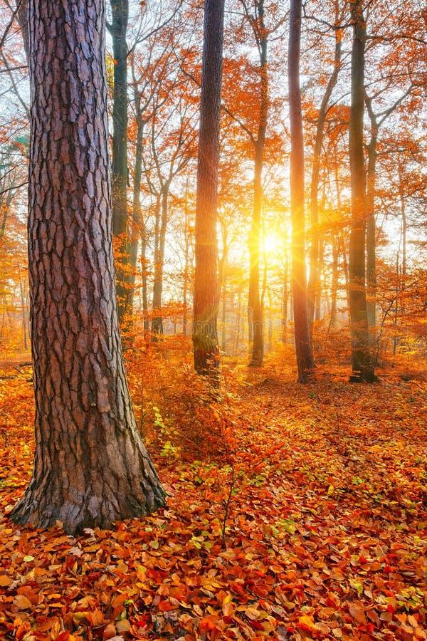 Floresta do outono de Sunlighted fotos de stock royalty free