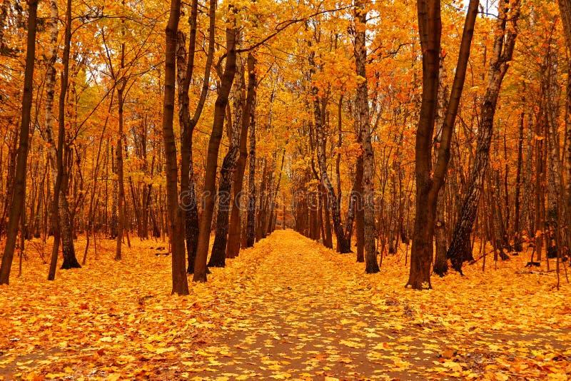 Floresta do outono no outono profundo Queda dourada fotos de stock