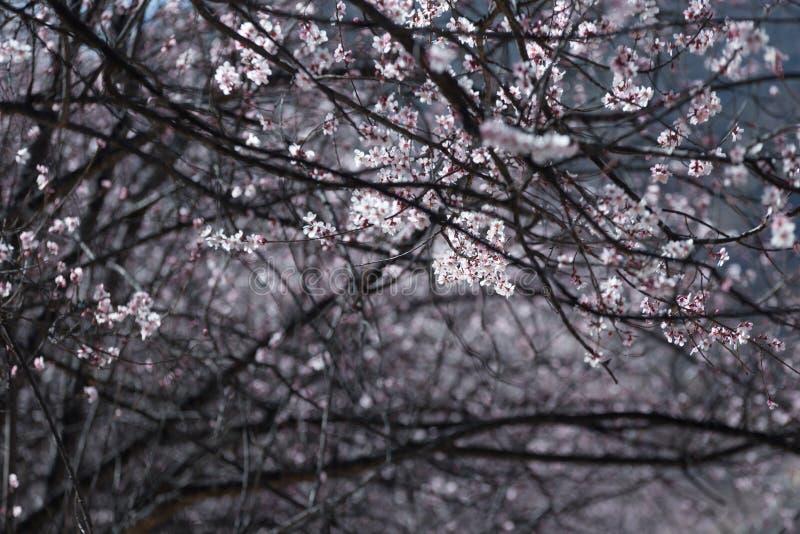 Floresta do pêssego da mola fotografia de stock