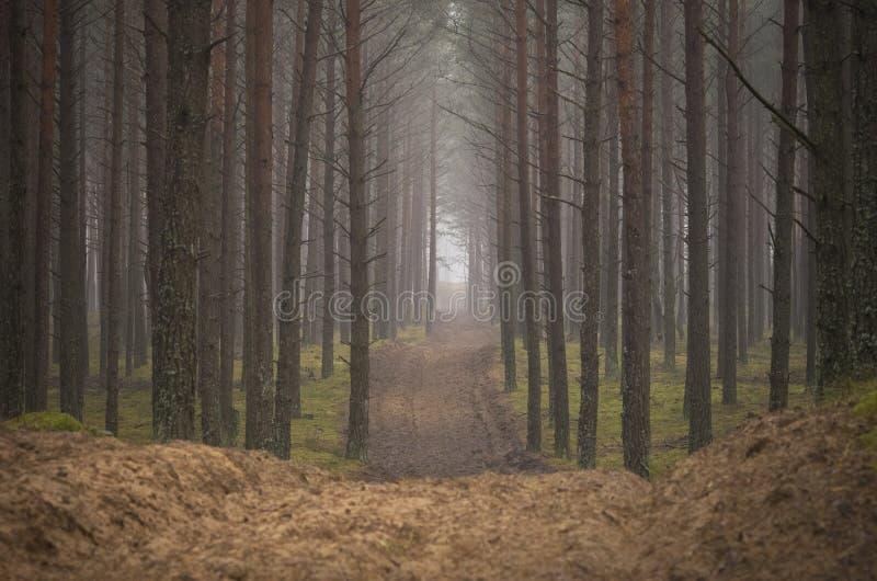 Floresta do pinheiro imagem de stock royalty free