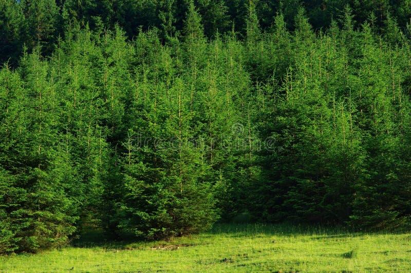 Floresta do pinheiro foto de stock