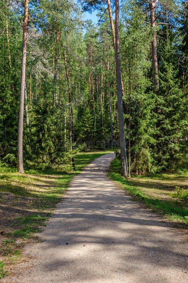 floresta do pinheiro com troncos de árvore e estrada do cascalho imagem de stock royalty free