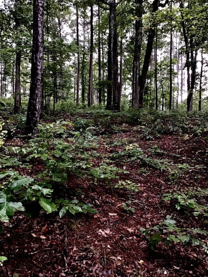 Floresta do pinheiro fotos de stock royalty free
