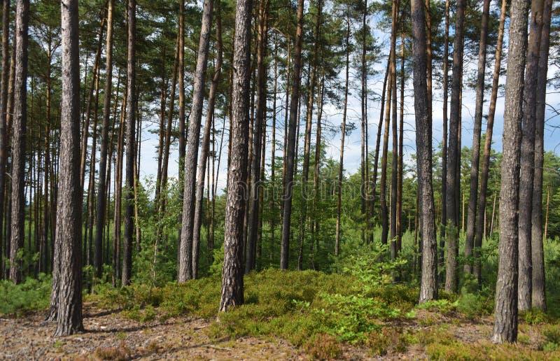 Floresta do pinheiro no dia ensolarado imagens de stock royalty free