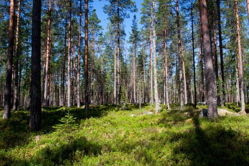 Floresta do pinho imagens de stock royalty free