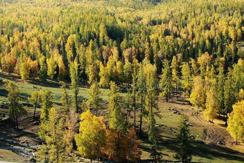 Floresta do pinho imagens de stock