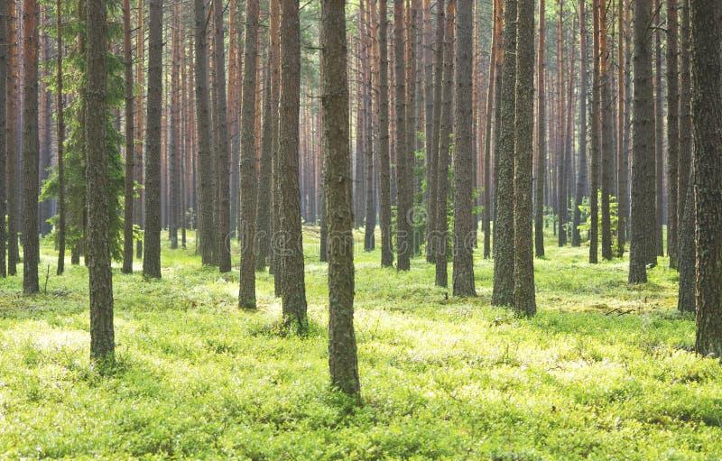 Floresta do pinho foto de stock royalty free