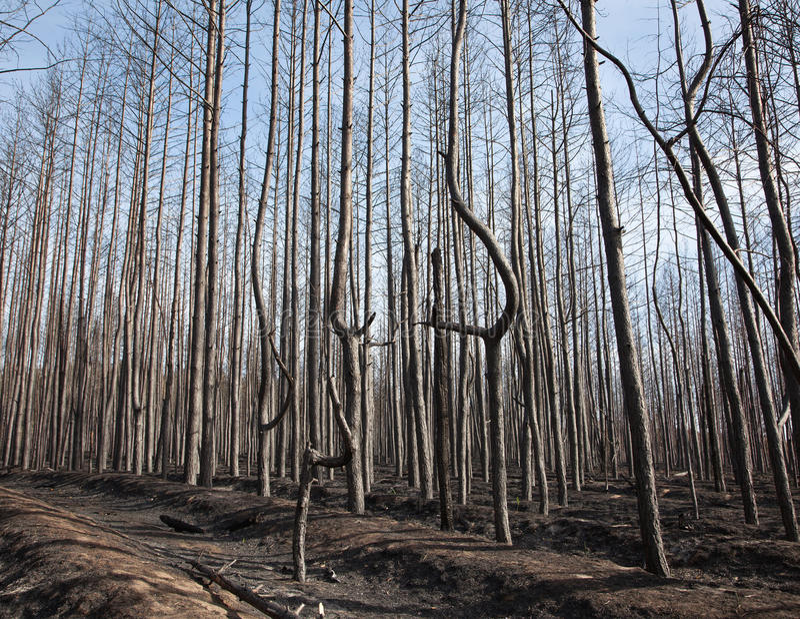 Floresta do pinho após o incêndio fotos de stock royalty free
