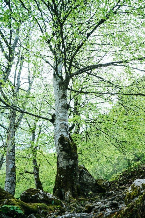 Floresta do pinho cedo na manh?, Mt Durmitor, Montenegro Cena dram?tica ?rvore verde fotos de stock