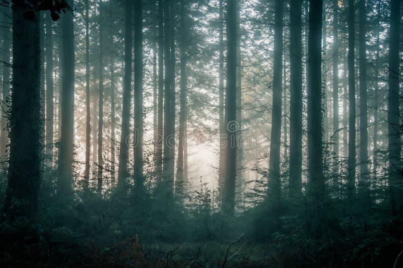 Floresta do pinho com as árvores mostradas em silhueta contra um nascer do sol enevoado fotos de stock