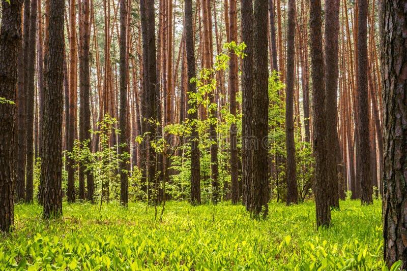 Floresta do pinho com o sol que brilha através das árvores fotos de stock