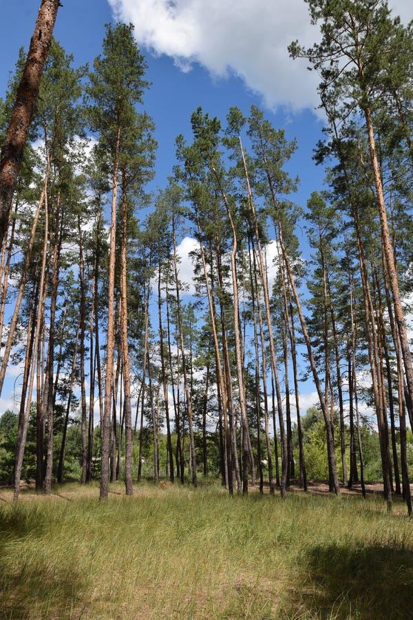 Floresta do pinho contra o céu azul imagem de stock royalty free