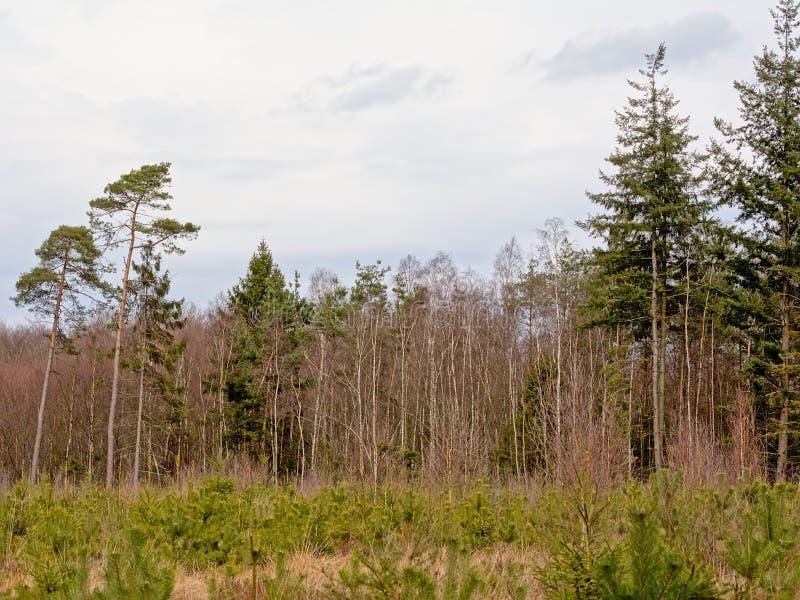 Floresta do pinho de Ardennes com árvores e os rebentos velhos foto de stock royalty free