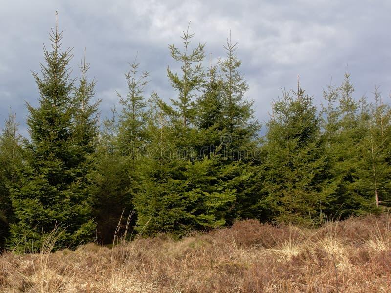 Floresta do pinho de Ardennes com grama secada na parte dianteira sob nuvens escuras imagens de stock