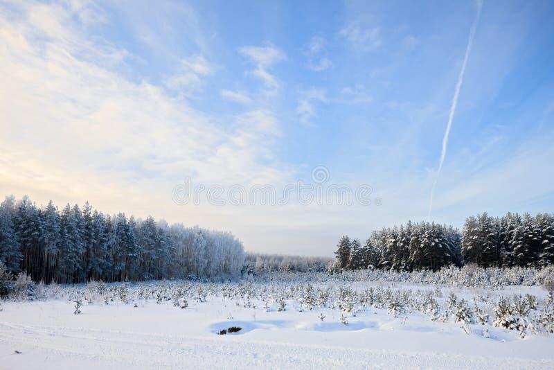 Floresta do pinho do inverno foto de stock royalty free