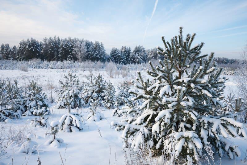 Floresta do pinho do inverno imagens de stock royalty free