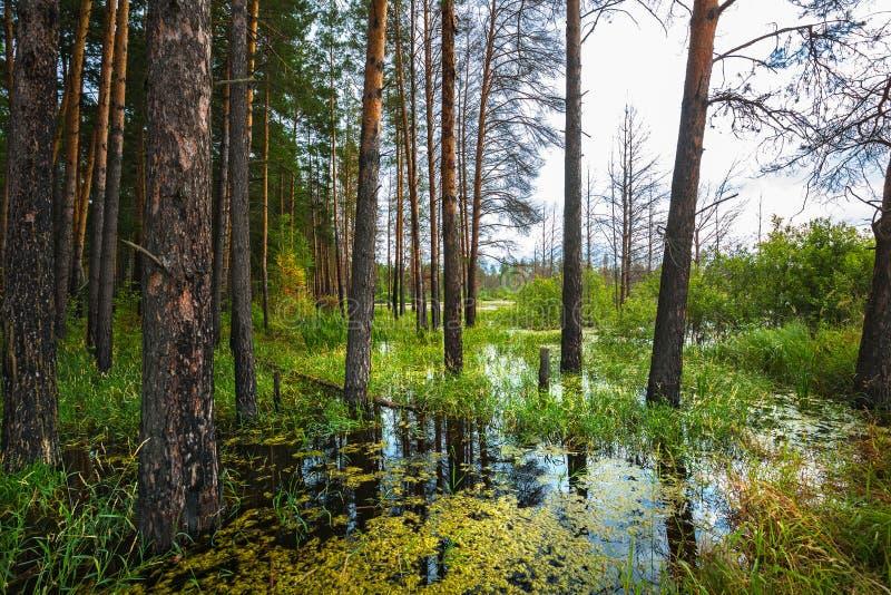Floresta do pinho na borda do pântano Sibéria, Rússia fotografia de stock