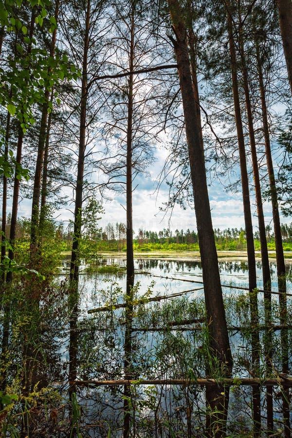 Floresta do pinho na borda do pântano Sibéria, Rússia imagens de stock